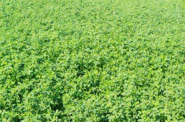 Background of field with the alfalfa crops