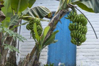 Banana tree in front of house, Yelapa, Jalisco, Mexico