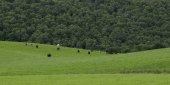 Cows grazing in pasture, Scottish Highlands, Scotland