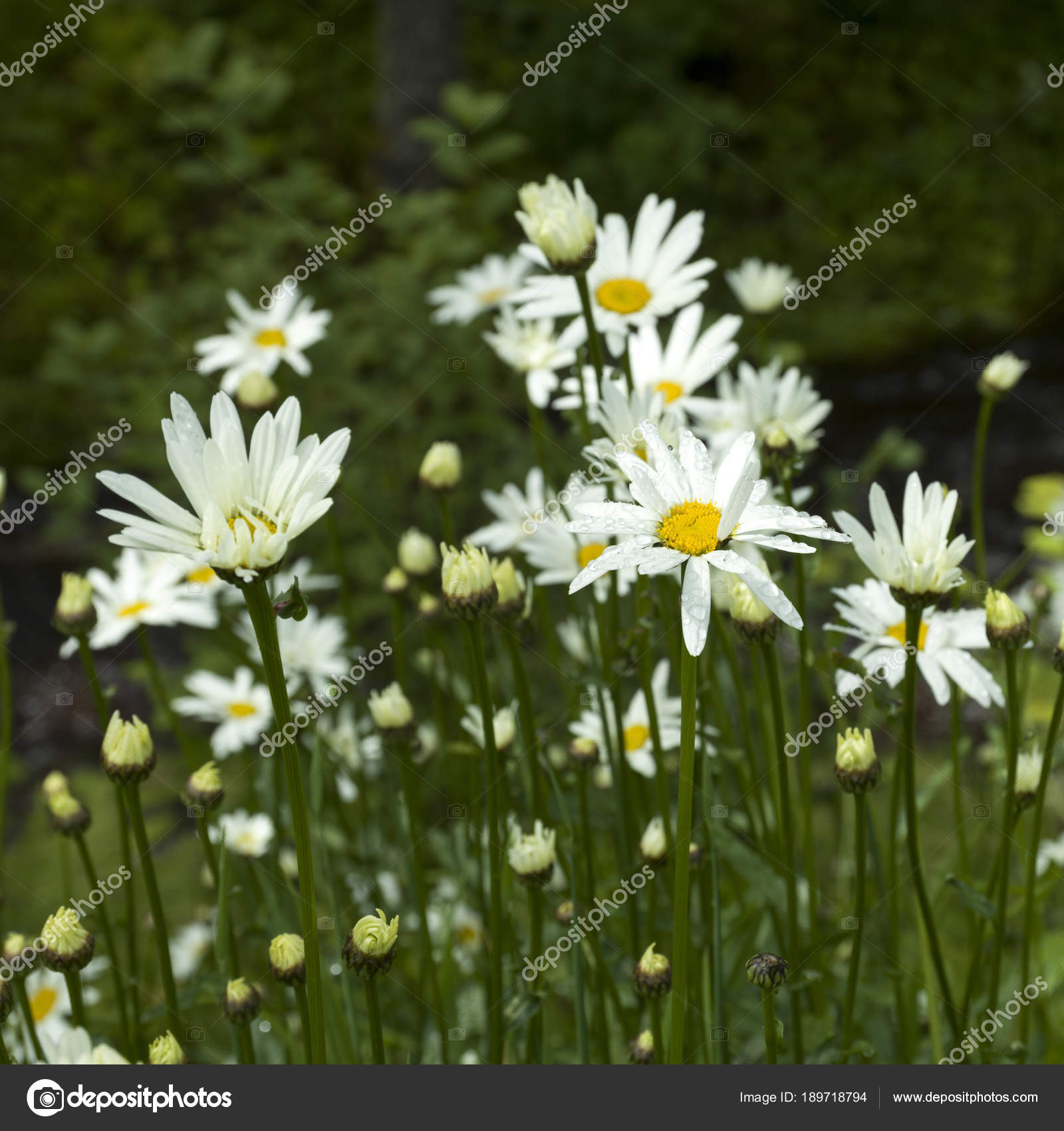Close daisy flowers bloom blair atholl perthshire scotland stock close up of daisy flowers in bloom blair atholl perthshire scotland photo by klevitaw izmirmasajfo