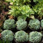 Close-up of green succulent plants, Juarez Park, Zona Centro, San Miguel de Allende, Guanajuato, Mexico
