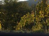 Pohled na vinice do vinice, Chianti, Toskánsko, Itálie