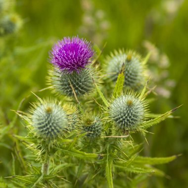 Close-up of flower on thistle plant, Duncansby Head, John o' Groats, Caithness, Scottish Highlands, Scotland