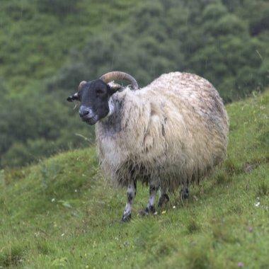 Male sheep standing on grass area, Lealt Falls Canyon, Isle of Skye, Scottish Highlands, Scotland