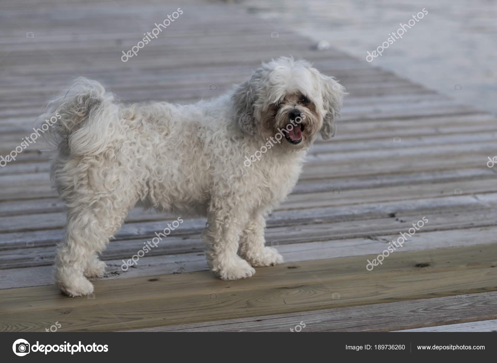 White Zuchon Puppy Lake Woods Ontario Canada Stock Photo
