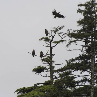 Eagles perching on an evergreen tree, Skeena-Queen Charlotte Regional District, Haida Gwaii, Graham Island, British Columbia, Canada