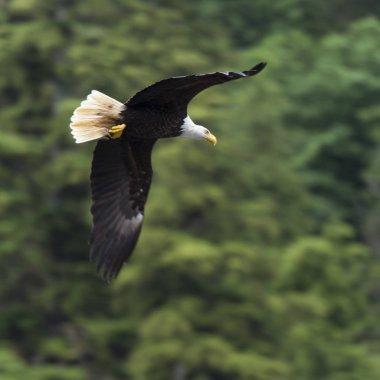 Eagle in flight, Skeena-Queen Charlotte Regional District, Haida Gwaii, Graham Island, British Columbia, Canada