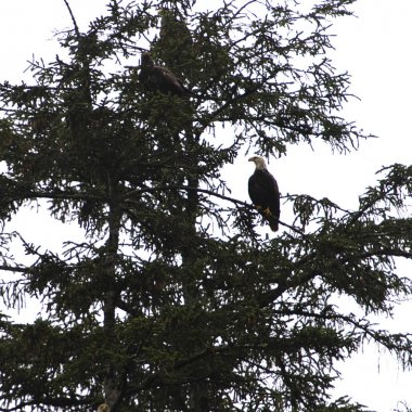 Eagles perching on a tree, Skeena-Queen Charlotte Regional District, Haida Gwaii, Graham Island, British Columbia, Canada
