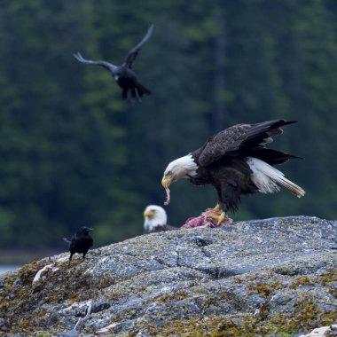 Eagle feeding, Skeena-Queen Charlotte Regional District, Haida Gwaii, Graham Island, British Columbia, Canada