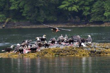 Flock of bald eagles on an island, Skeena-Queen Charlotte Regional District, Haida Gwaii, Graham Island, British Columbia, Canada
