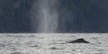 Whale surfacing in the Pacific Ocean, Skeena-Queen Charlotte Regional District, Haida Gwaii, Graham Island, British Columbia, Canada