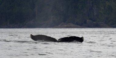 Whale in the Pacific Ocean, Skeena-Queen Charlotte Regional District, Haida Gwaii, Graham Island, British Columbia, Canada