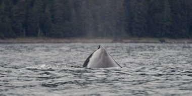 Whale in the Pacific Ocean, Skeena-Queen Charlotte Regional District, Haida Gwaii, Graham Island, British Columbia, Canada