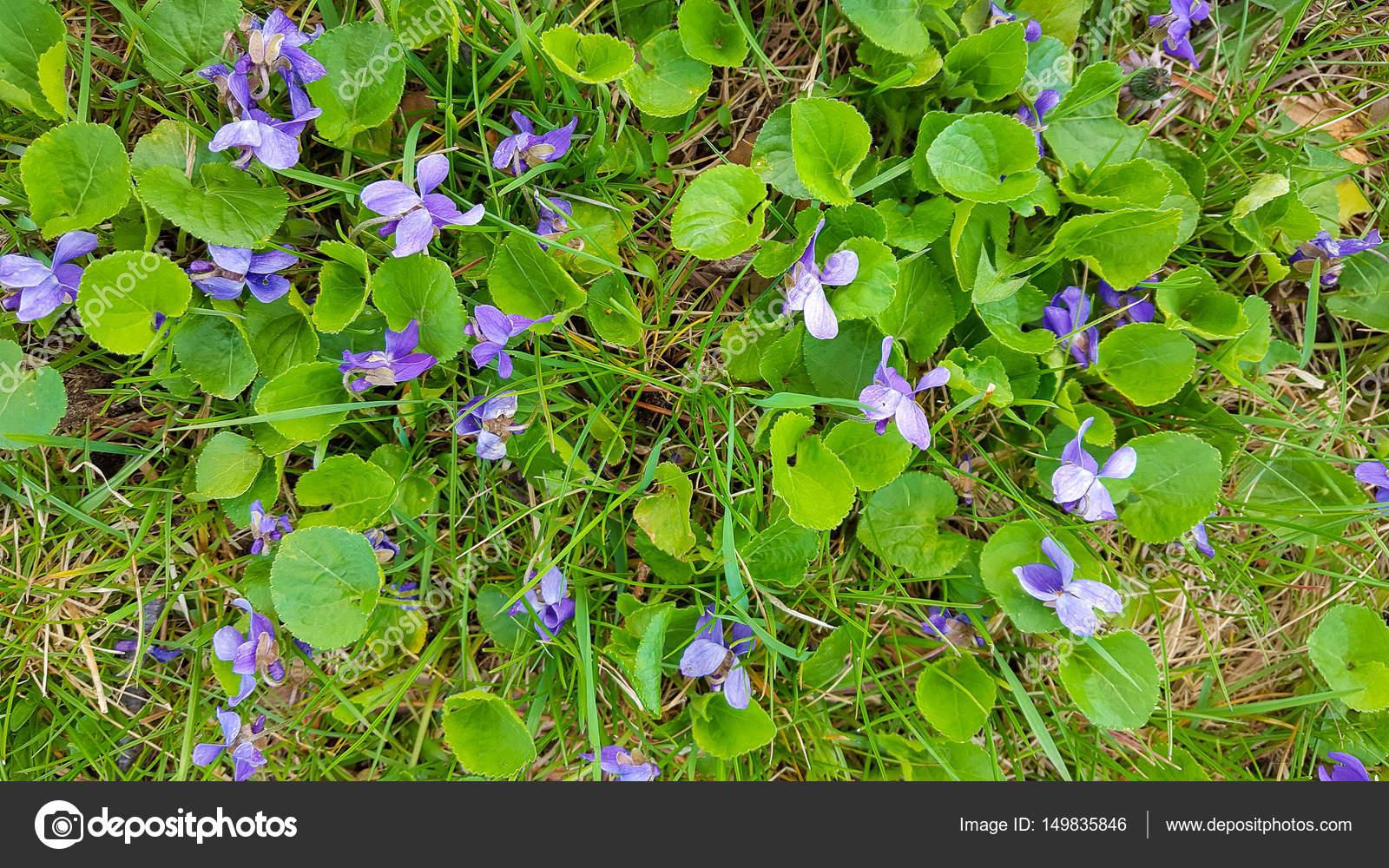Wild Violet Unkraut Im Rasen Stockfoto C Jentara 149835846
