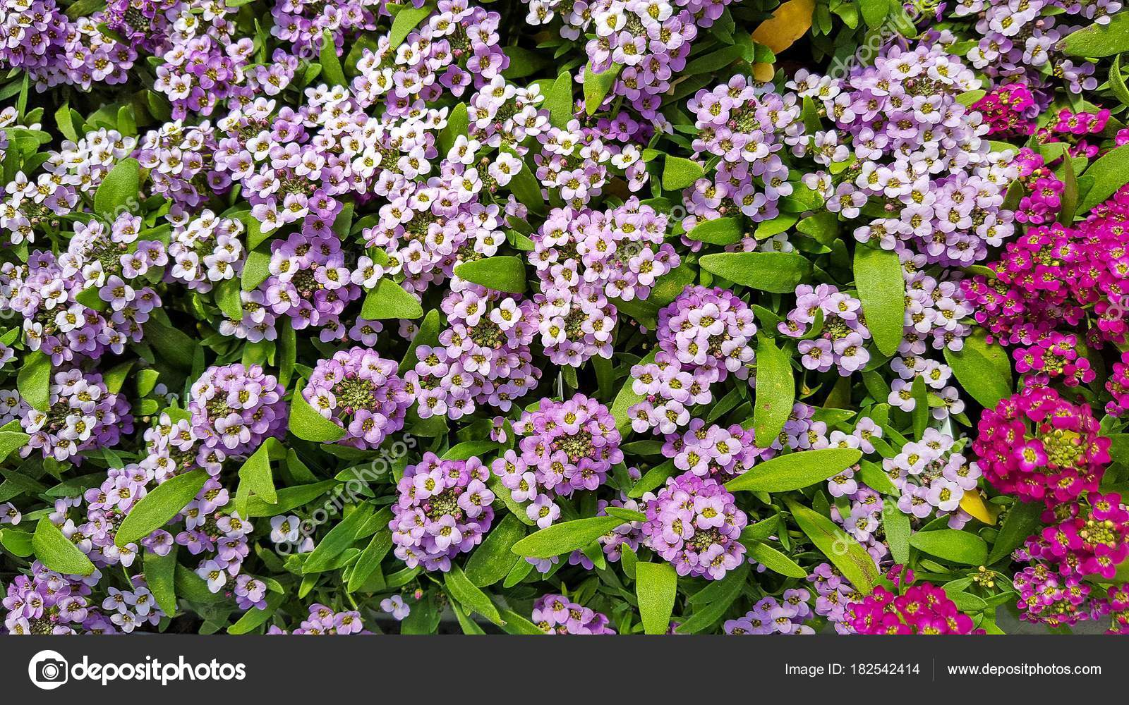 Close Pink Purple Alyssum Flowers Summer Garden Stock Photo