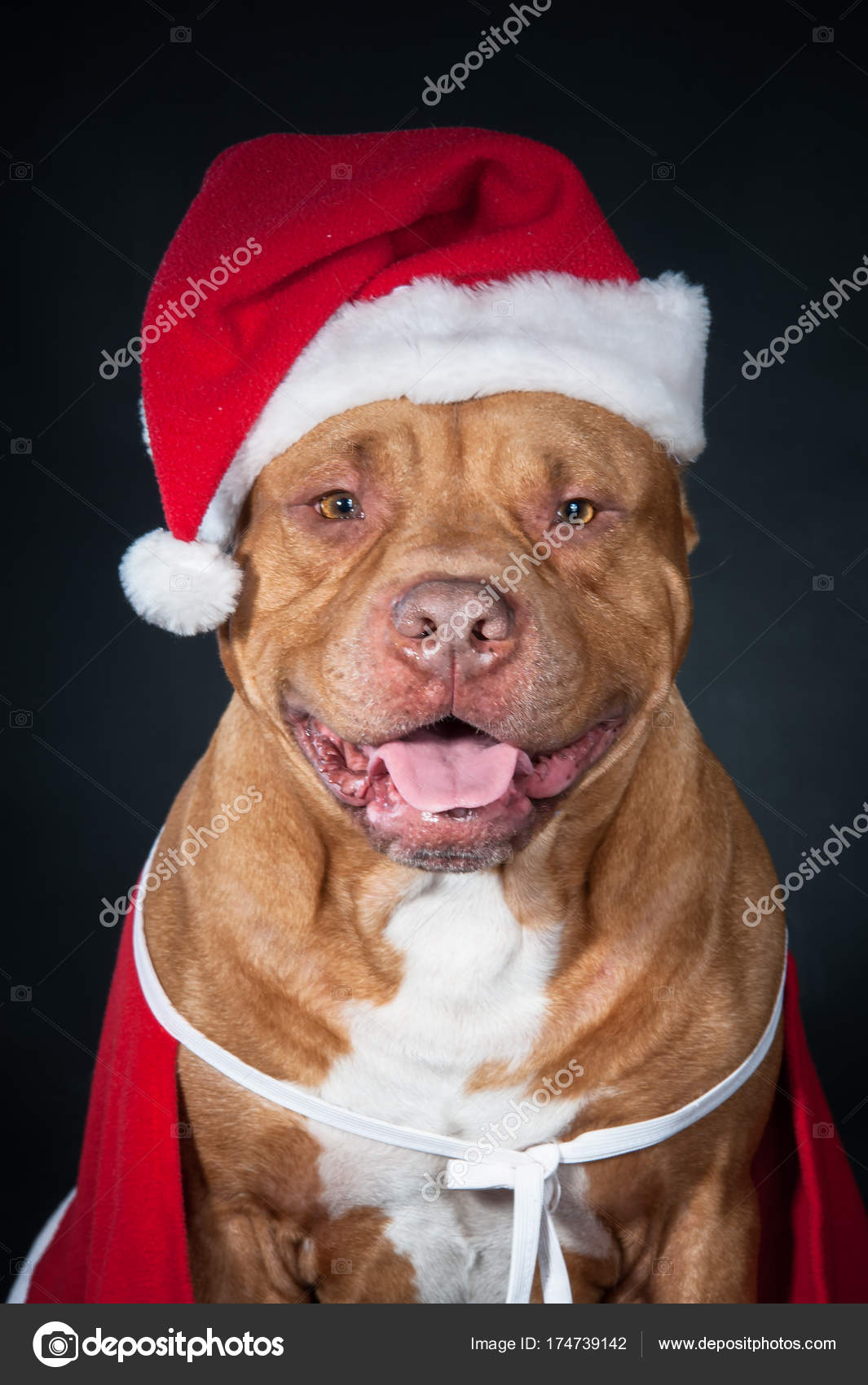 Dog, a pit bull in Santa\'s costume, a dog year, a Christmas card ...