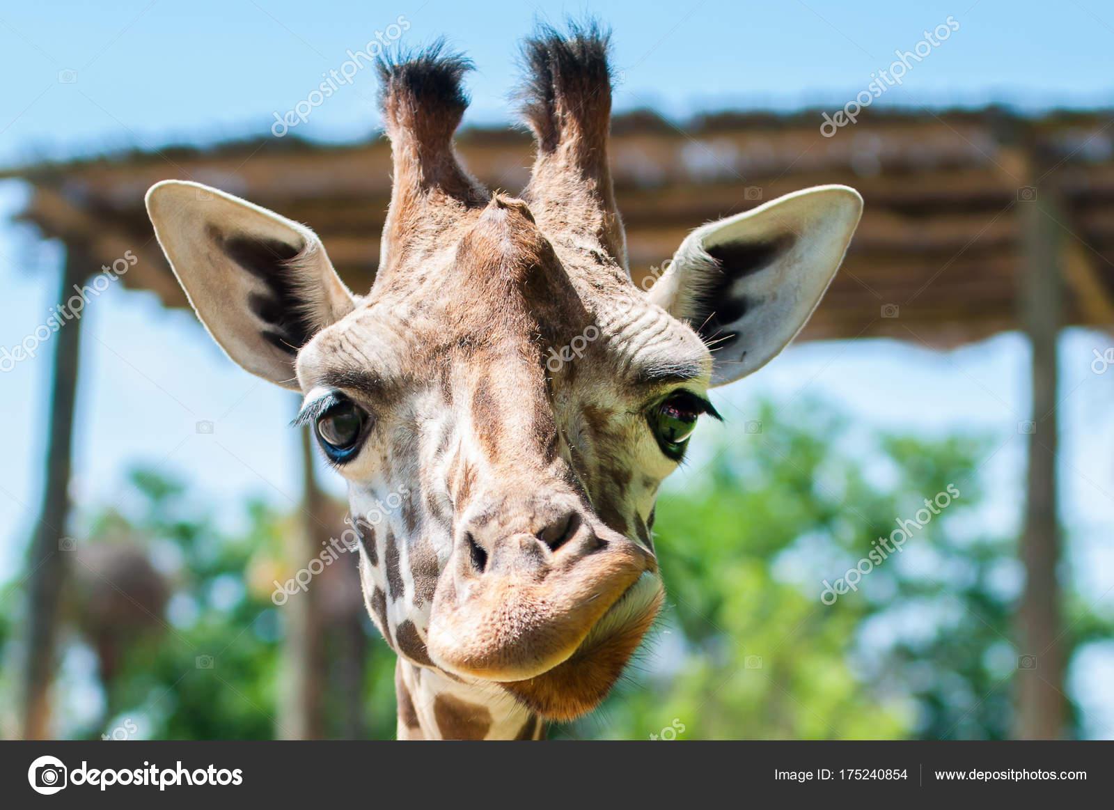 Jirafa divertida sonrisas y muecas, construye su rostro, risas — Foto de  Stock