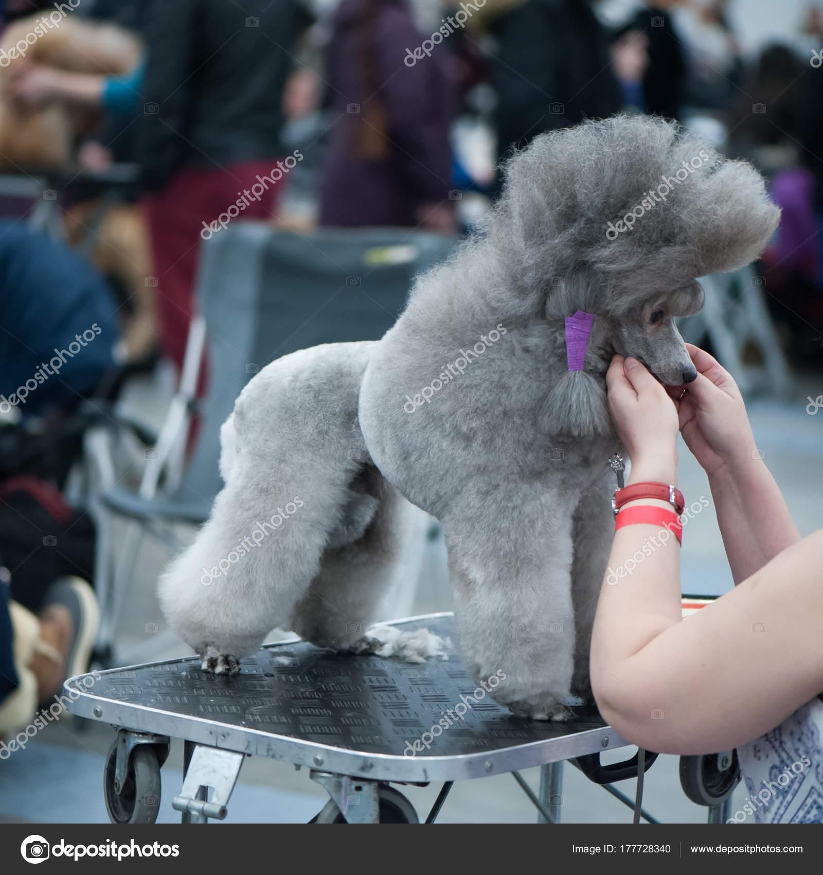 Adorable Poodle Dog Show