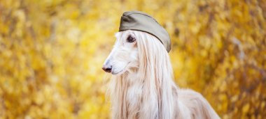 Dog, Afghan hound in a military cap, against the background of the autumn forest. Host protection concept, dog protector