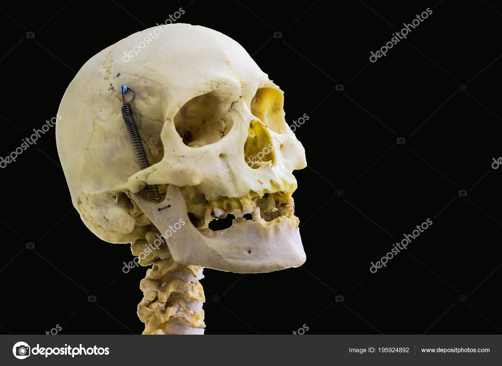 Articulated Human Skull Bone Cervical Vertebrae Head Neck Anatomy