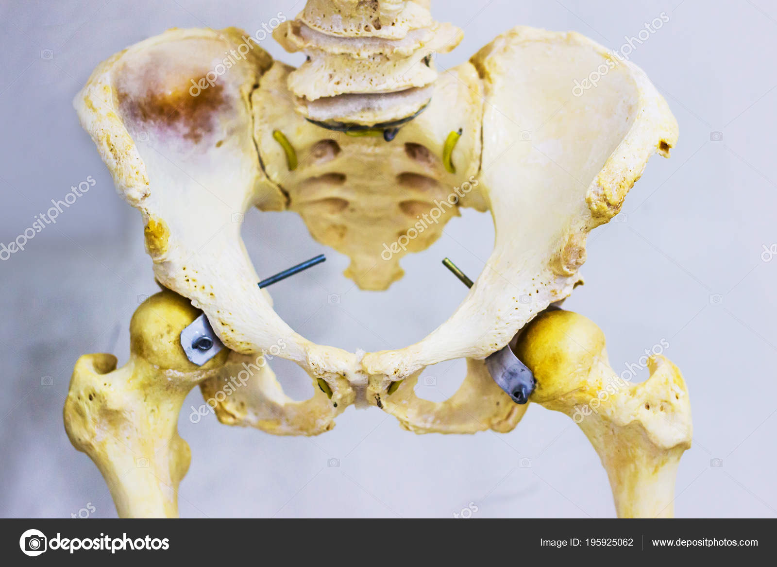 Human Skeleton Articulated Hip Joint Anatomy Showing Sacrum Hip Bone ...