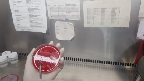 a minta beoltása véragar tenyészetben védőoltással