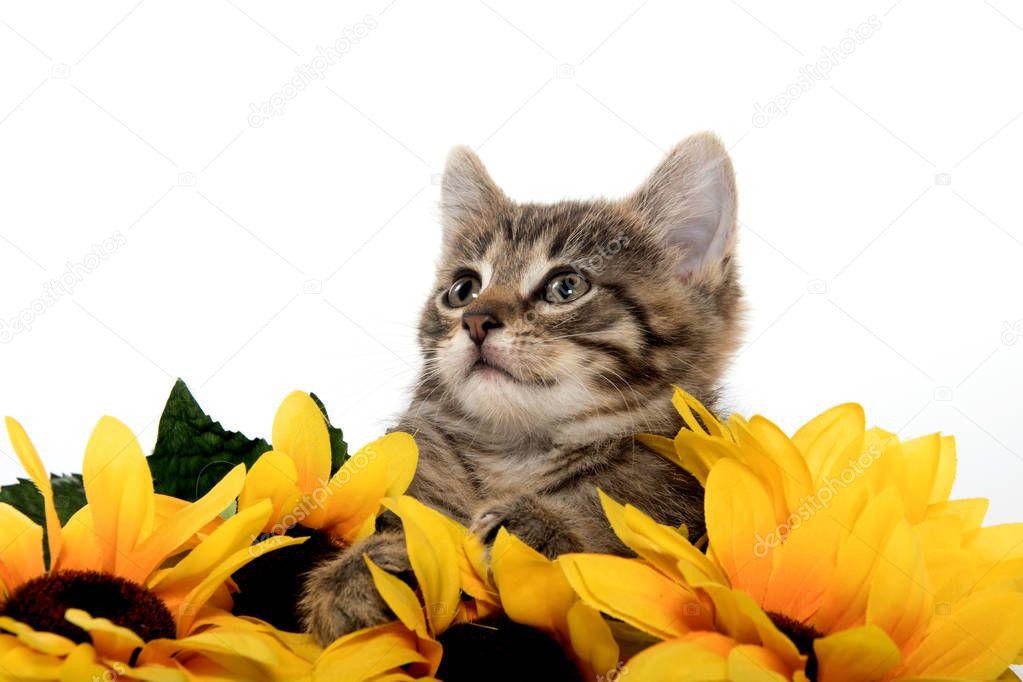 Cute tabby kitten wiht sunflowers