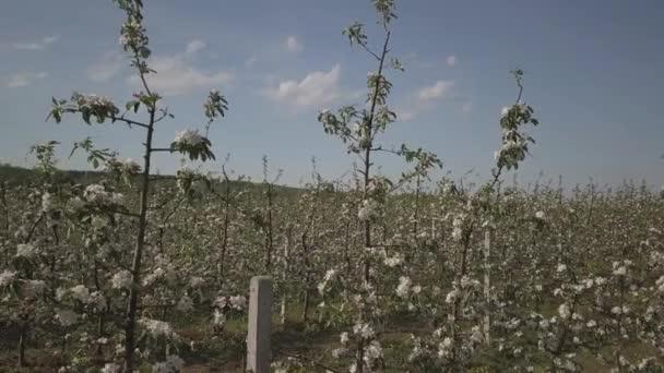 Virágzó Alma ültetvény. Egy fiatal gyümölcsös modern line-up, napos tavaszi délután. Egy virág egy almafa, a homályos háttérrel. Mezőgazdasági földterület. Gyümölcs farm. A csíra egy új termés.