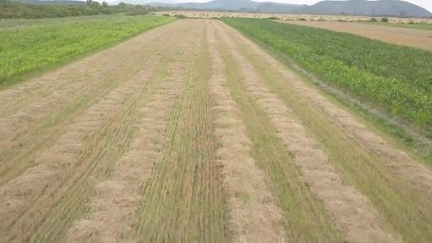 Suché travnaté seno, zkroucené v hustých hrománích v době přípravy krmení dobytka, zblízka na zemědělském poli proti modrému nebi. Odběr obilovin. Zásoby na farmě. Zvířecí steliva