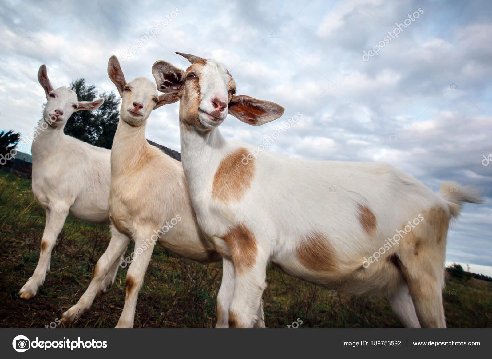 Veľké kozy