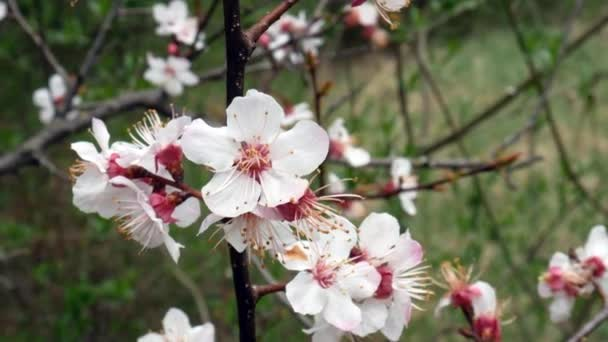Flowers apple tree early spring flowering trees stock video flowers apple tree early spring flowering trees stock video mightylinksfo