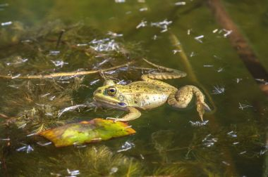 Frog in a pond / frog in a pond in the Royal botanical garden of Madrid. Spain