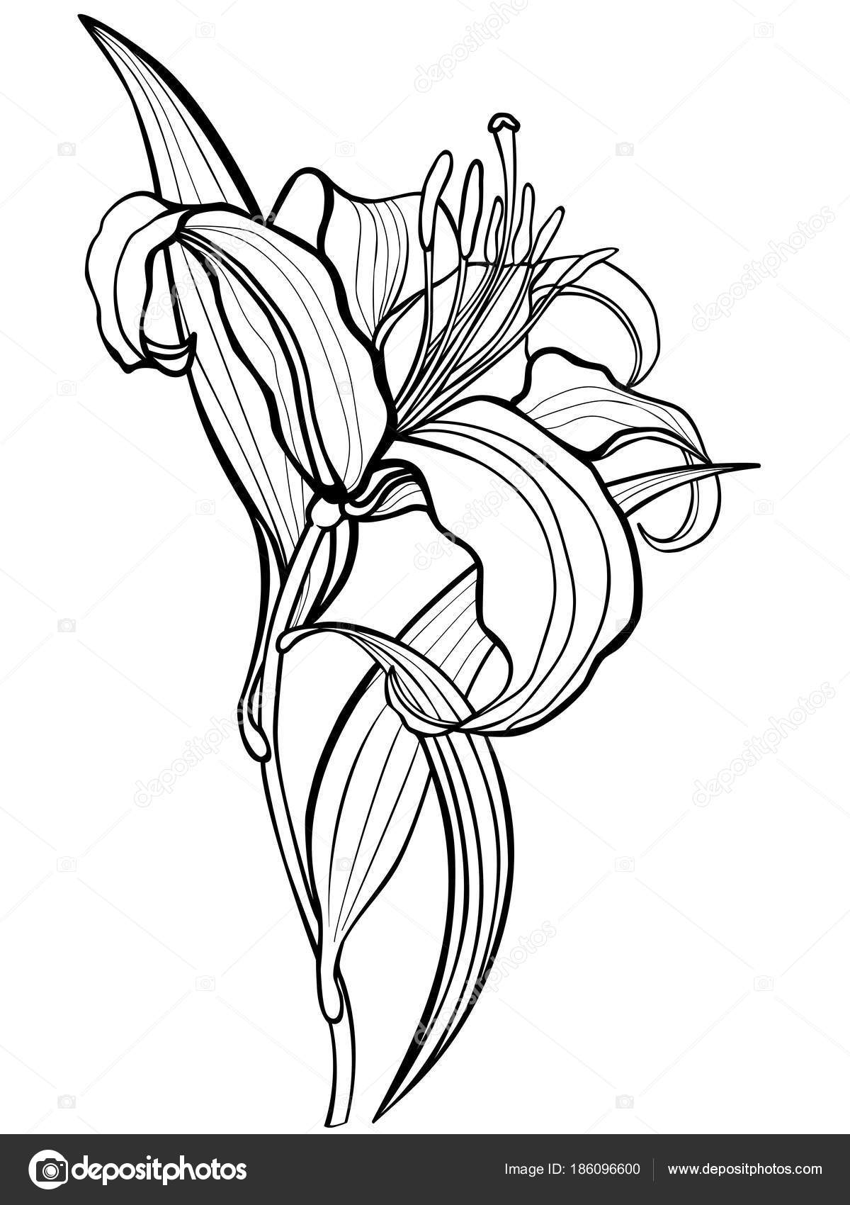 1e0fd07280 Factory Outlets Catch Lilly Drawing Calla Lily Lily