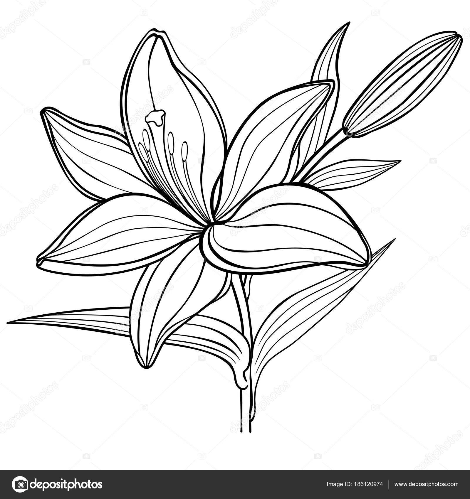 Une fleur lis avec bourgeon noir blanc dessin lin aire - Dessin bourgeon ...