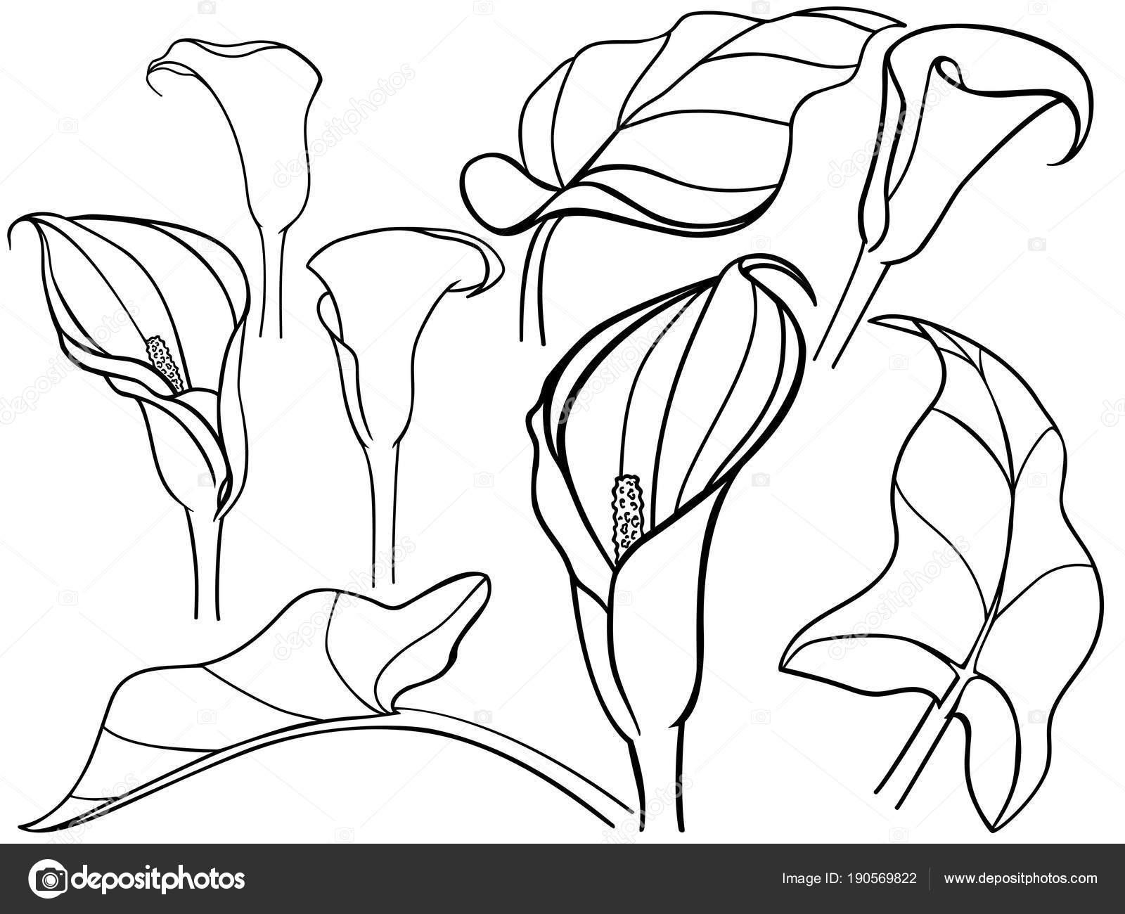Dibujos Botanica Para Colorear Calla Lirio Callas Con