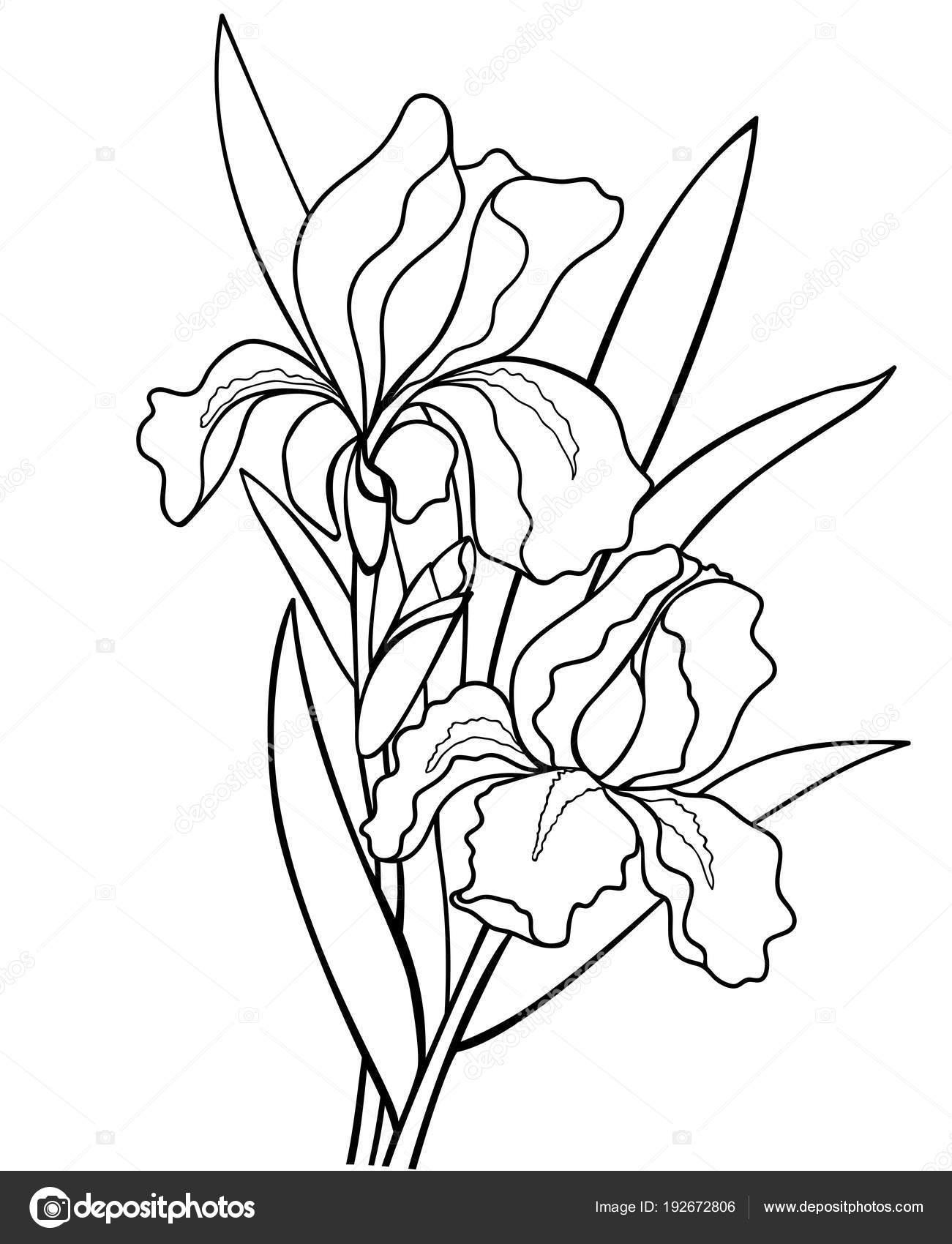 Dibujos silueta de rosas para colorear flores con hojas iris ilustraci n bot nica dibujo - Coloriage fleur iris ...