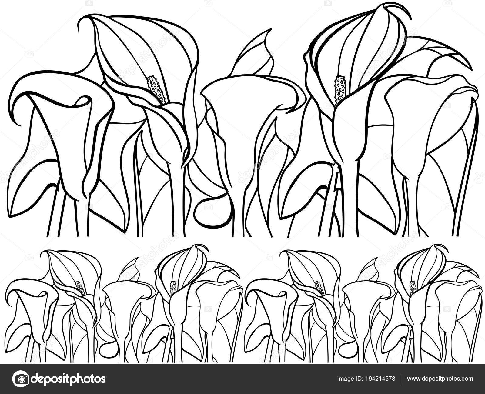 Calla Lirio Callas Con Hojas Ilustración Botánica Dibujo Línea Para ...