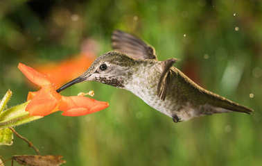Hummingbird profile and the monkey flowers