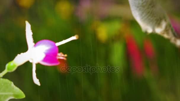 Kolibřík návštěvy královny Ester fuchsie v dešti s její šťastný hlas