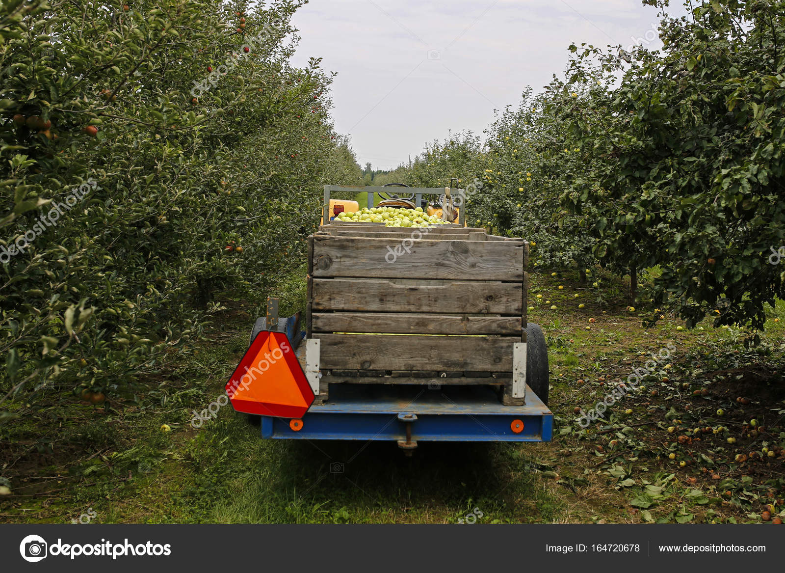 tractor with trailer full of apples in fruit orchard — Stock Photo ...