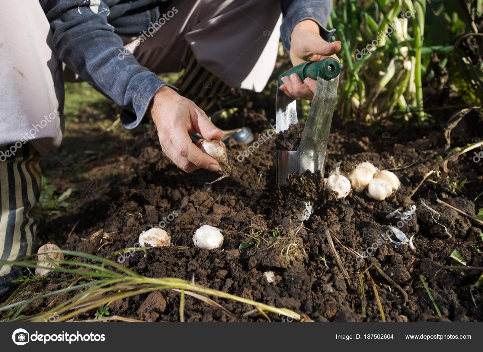 Close Hand Planting Bulbs Flower Bulb Planter Outdoors Garden Use