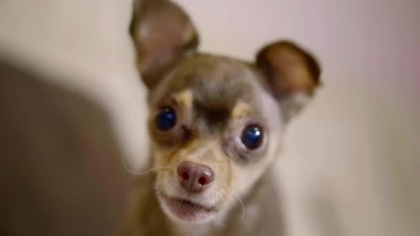 roztomilý malý hnědý toy teriéra je Yelpuje domů, zblízka legrační tlama s vykulenýma očima