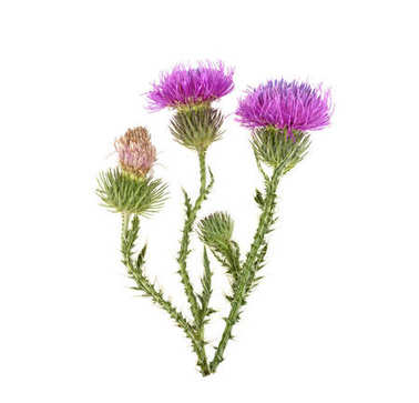 medicinal plant with spines and purple flowers on a white backgr