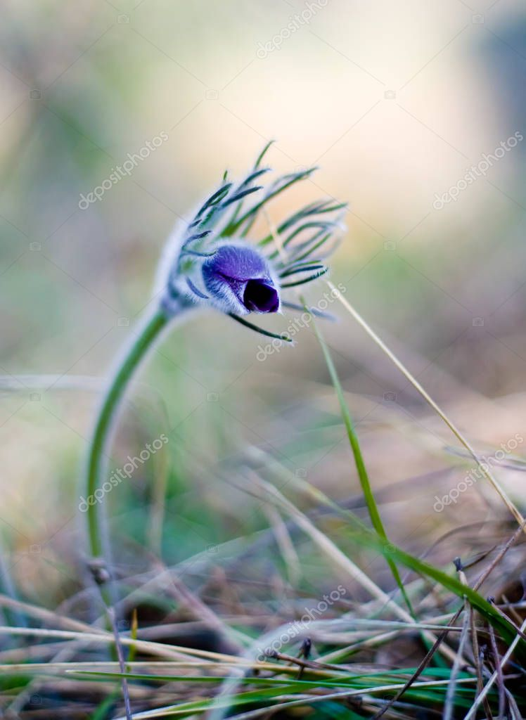 Pasque flowers buds