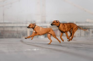two rhodesian ridgeback dogs running together on the street
