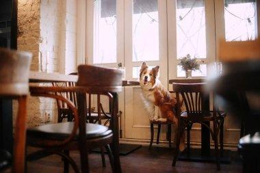 adorable border collie dog posing in a cafe