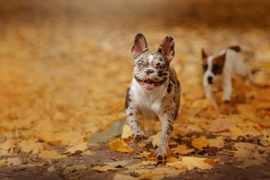 adorable merle french bulldog outdoors in autumn