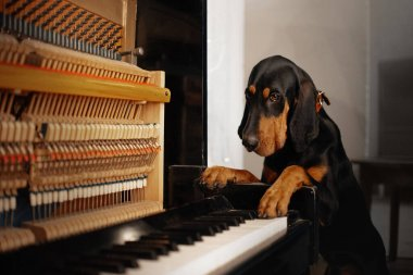 coonhound dog posing indoors with a piano