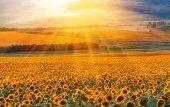 Slunečnicová pole v západu slunce