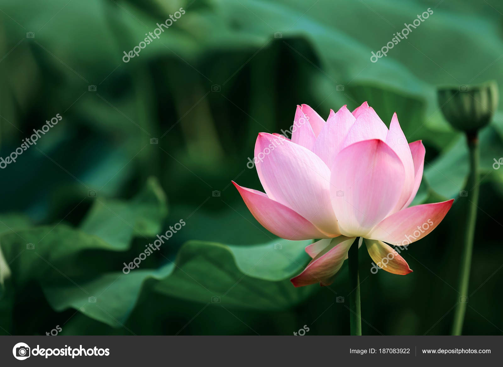 Pink Lotus Flower Green Leaf Stock Photo C728hotmail
